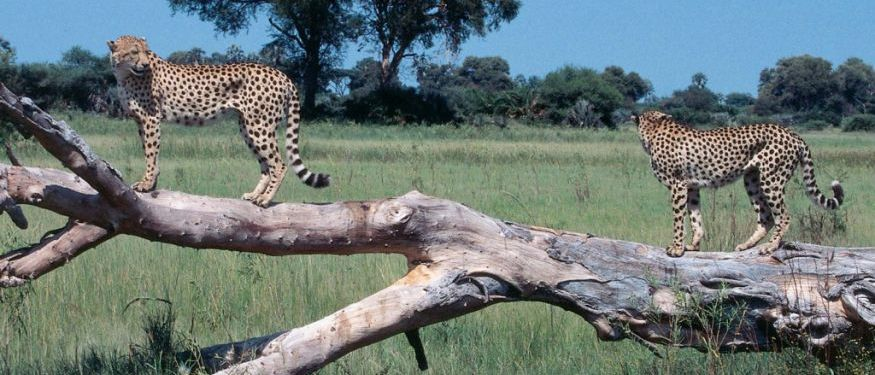 Little Vumbura Cheetah ©Wilderness Safaris