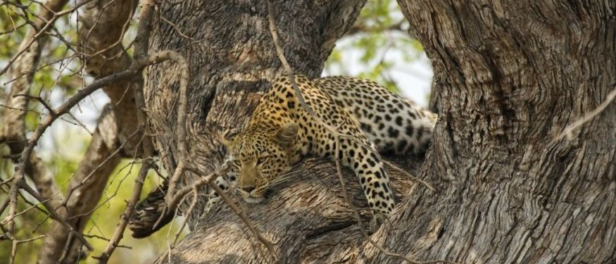 Seba Leopard ©Wilderness Safaris