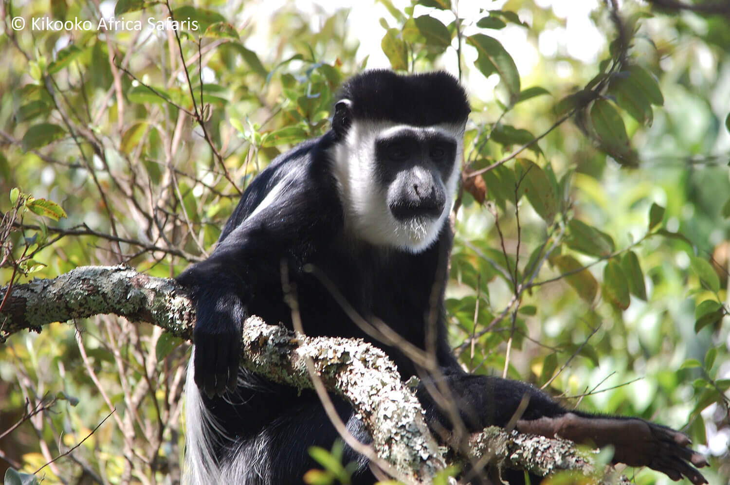 10-Kikooko-Africa-Safaris-Black-And-White-Colobus-Monkey.jpg