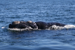 Southern right whale ©Wikipedia